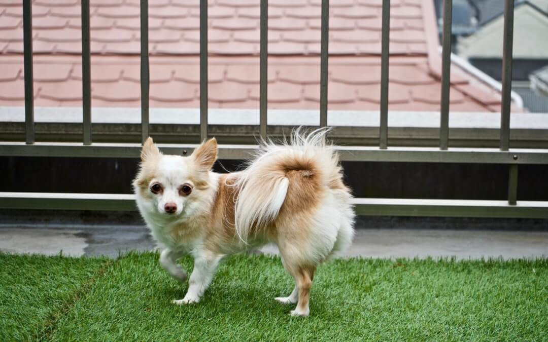 chihuahua dog on artificial grass